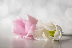 romantic touch (Emma Varley) Tags: flowers cut lisianthus soft romantic white pink reflections stilllife bokeh dreamy fvf sundaylights