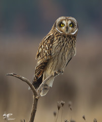 Short-Ear Portrait (Short-Eared Owl) (The Owl Man) Tags: