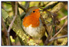 Erithacus rubecula Robin (postman.pete Thanks for 2m Views) Tags: hwcp lumix park taskday wickedweasel winter robin tree mistle thrush bokeh butterfly canon macro moth rebel ruddy darter sympetrum sanguineum common wicked weasel colchester inspiredbylove