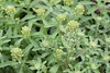 Plants_OB_362 (NRCS Montana) Tags: alyssum alyssoides pale madwort plants