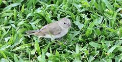 sparrow (joybidge) Tags: trishcanada naturepatternscanada vacation fortlauderdaleflorida fortlauderdale bird birds sparrow