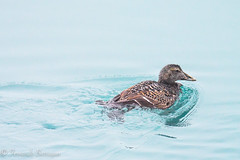 duk in the ice (barragan1941) Tags: aves avesmarinas islandia patos