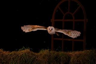 Barn Owl (E-4A7A-8022)