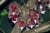 Aristolochia arborea - Burgers Zoo (Ruud de Block) Tags: ruuddeblock burgerszoo aristolochiaceae taxonomy:binominal=aristolochiaarborea aristolochiaarborea