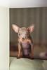 Pixie (Dmitry_Pi) Tags: pixie dog relax portrait herbst autum badgoisern austria österreich russkiytoy pet toy