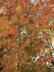 Fall Colors Santa Fe, NM (joven_60) Tags: tree fallcolors santafe newmexico leaves berries fall autumn otoño phone6splus