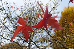 P1270725 (steve p2008) Tags: burtonupontrent autumn november2017 woodland trees redleaves red