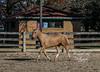 IMG_7270 (Tyler Ochs Photography) Tags: horses horse halter