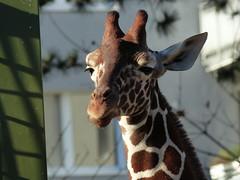 Netzgiraffe (Chriest) Tags: zooköln netzgiraffe giraffacamelopardalisreticulata