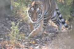 2017-1129 madonna tiger (8)