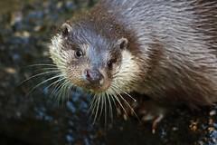 SWEETHEART (babsbaron) Tags: nature tiere animals otter fischotter fish wildpark lüneburg lüneburgerheide