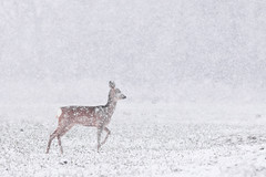 First of the year (Kristóf Diós) Tags: winter snow snowing falling is roe roedeer deer capreolus wintertime freeze cold frozen nature wildlife hungary őz tél hó havazás snowflakes wild animal mammal reh rehwild