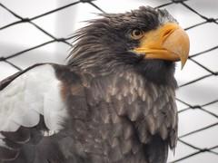 Steller's sea eagle (sander_sloots) Tags: stellers sea eagle diergaarde blijdorp zoo rotterdam bird prey roofvogel zeearend haliaeetuspelagicus vogel