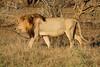 Panthera leo ♂ (Lion) - South Africa. (Nick Dean1) Tags: pantheraleo lion animalia chordata cat bigcat predator krugernationalpark southafrica satara