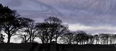 (Edinburgh Nette ...) Tags: trees woodland landscapes dusk sunset december17 dm sliders ribbet