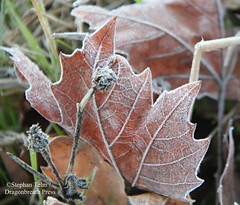 IMG_7713_Frost-kissed leaves