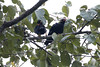 Common Hill Myna (ramosblancor) Tags: naturaleza nature animales wildlife aves birds commonhillmyna mináreligioso graculareligiosa grarel posado perched pareja pair selva jungle monzón monsoon khaoyai tailandia thailand