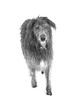 """Bertie sees his first snow and says : """"oi monkey why did you take me away from the fire ?"""" (adamnsinger) Tags: scottish scotish snow deerhound verulamium park leica monochrome 50mm summicron apo asph"""