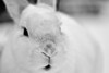 I just want your extra time and your, KISS x (Paul Wrights Reserved) Tags: kiss soft rabbit rabbits bunny bunnies pet pets whiterabbit nose mouth portrait animal domestic houserabbit eye cute adorable fluffy whiskers