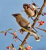 Cedar Waxwing breakfast (Patrick Dirlam) Tags: trips northcounty birds landbirds cedar waxwing toyon berry