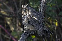 Long-eared Owl / Hibou moyen-duc (shimmer5641) Tags: asiootus longearedowl hiboumoyenduc northernlongearedowl owlsfamily raptor birdofprey britishcolumbiacanada birdsofbritishcolumbia birdsofnorthamerica