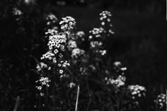Ferrania P30 Alpha Test Roll 1: White Flowers (pmvarsa) Tags: summer 2017 analog film 35mm 135 ferrania p30 alpha 80iso ferraniap30alpha blackandwhite bw nikkormat ftn classic camera nikon nikkor 35mmf28lens nikonsupercoolscan9000ed coolscan outside cans2s waterloo ontario canada depth bokeh flower petals garden nikkormatftn