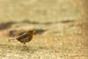 Le rouge gorge de l'Ile Renote (eric.hanss) Tags: billebaude france occasion côtedegraniterose nature oiseau vegetal animal couchédesoleil bretagne lieu météorologie rougegorge