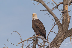 Serious looking Bald Eagle