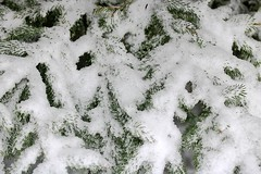 2017 Snow On Spruce Tree Branches 001 (Chrisser) Tags: weather snow nature ontario canada canoneosrebelt6i canonefs60mmf28macrousmprimelens lens00025 digital