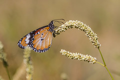 West MacDonnell-116a (ido256) Tags: butterfly westmacdonnell africanmonarch plaintiger