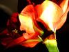 Amarillis-Ritterstern (magritknapp) Tags: amaryllis blume makro flower fleurdamaryllis flor de amarilis fiore bloem