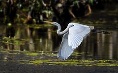 eastern great egret (Fat Burns ☮) Tags: easterngreategret ardeamodesta waterbird bird australianbird fauna australianfauna sandycamprdwetlands nikond500 sigma150600mmf563dgoshsmsports