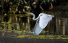 eastern great egret (Fat Burns ☮ (on/off)) Tags: easterngreategret ardeamodesta waterbird bird australianbird fauna australianfauna sandycamprdwetlands nikond500 sigma150600mmf563dgoshsmsports