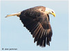Bald Eagle, Birds of the Conowingo Dam (alan jackman) Tags: jackmanonjazz nikon bird wildlife wings wing baldeagle raptor conowingodam maryland eagle span alanjackman d7000 tamron 150600mm telephoto lens lense jpeg jpg cecil county conowingo dam susquehanna nature bigma avian beak eyes feathers bif birdinflight soar