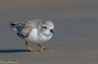 Piping Plover with a snack