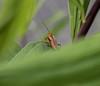 Cantharis livida ?? (wpt1967) Tags: canon50mmcompactmacro cantharislivida castroprauxel eos6d erinpark käfer makro ruhrgebiet ruhrpott bug macro wpt1967