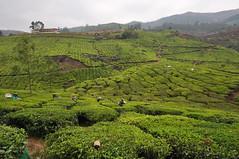 India - Kerala - Munnar - Tea Plantagen - Harvest - 234 (asienman) Tags: india kerala munnar teaplantagen asienmanphotography