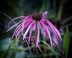 Natural Beauty (MrBlueSky*) Tags: flower plant petal garden horticulture nature outdoor colour kewgardens royalbotanicgardens london aficionados pentax pentaxart pentaxlife pentaxk1 pentaxawards pentaxflickraward