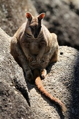 Mareeba Rock Wallaby (Caleb McElrea) Tags: athertontableland farnorthqueensland wettropicsofqueensland worldheritagearea unesco queensland australia rainforest tropical hot biodiversity wildlife wildlifephotography mareebarockwallaby mareeba rockwallaby macropod kangaroo marsupial mammal cute granitegorge