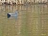 Ánade friso (Mareca strepera)  (1) (eb3alfmiguel) Tags: aves acuaticas patos anatidae ánade friso mareca strepera