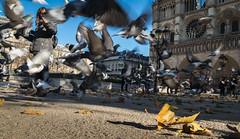 Flight to Paris (Jean-Luc Peluchon) Tags: fz1000 lumix paris france notredamedeparis cathédrale tourisme touriste oiseau pigeon vol feuille automne ville capitale bird cathedral town rue street notredame