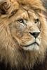 Lion (stephanrudolph) Tags: d750 nikon handheld heidelberg zoo germany deutschland europe europa lion bigcat animal 70200mm 70200mmf28gvr 70200mmvr