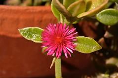 Flor del desierto. Aptenia cordiflora. Calama. Chile.
