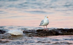 Glaucous Gulls in the Evening (imageClear) Tags: northpoint sheboygan wisconsin nikon aperture gulls glaucousgull arctic rocks ledge november nature wildlife imageclear flickr photostream