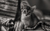Looking Cute BW (peter_hasselbom) Tags: cat cats kitten kittens abyssinian 7weeksold bw blackandwhite ruddy usual 50mm f14 tm tint