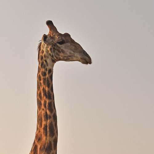 South Africa - Kruger - giraffe
