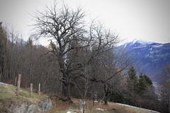 le vieil arbre (bulbocode909) Tags: valais suisse ravoire sentiers montagnes nature automne arbres forêts poteaux
