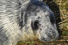 a JON_7919 (bajandiver) Tags: seals pups breading season donna nook bajandiver