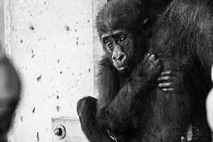 FRO_2982 (jaredpolin) Tags: sigma realworldreview froknowsphoto philadelphiazoo animals zoo gorilla birds natrure wildlife