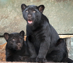 jaguarcub artis BB2A4055 (j.a.kok) Tags: jaguar jaguarcub jaguarwelp pantheraonca zwartejaguar blackjaguar artis animal zuidamerika southamerica kat cat mammal predator zoogdier dier